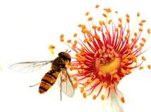 Hoverfly, das weg von Heckenrose einzieht Stockbild