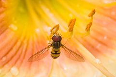 Hoverfly on daylily flowers Stock Photo