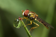 Hoverfly and dew Royalty Free Stock Image