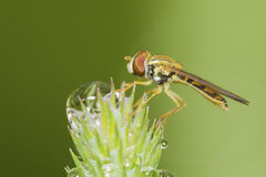Hoverfly in dew Stock Photography