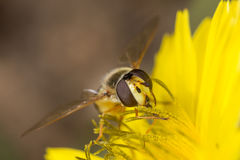 Hoverfly diptera sirfidae Royalty Free Stock Image
