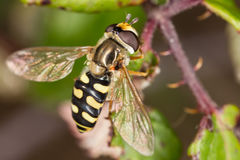 Hoverfly diptera sirfidae Royalty Free Stock Photos