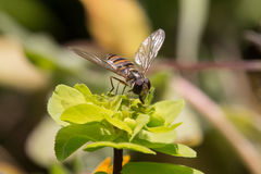 Hoverfly diptera sirfidae Stock Photo