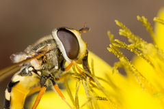 Hoverfly diptera sirfidae Royalty Free Stock Images