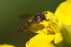 Hoverfly eating nectar Royalty Free Stock Photo