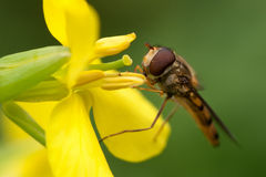 Hoverfly eating nectar. Close-up of a hoverfly sitting on a yellow flower eating nectar Royalty Free Stock Image