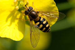 Hoverfly eating nectar. Close-up of a hoverfly sitting on a yellow flower eating nectar Royalty Free Stock Photos