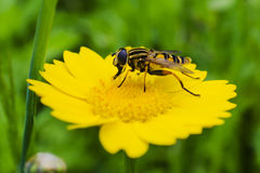 A Hoverfly eating from a wild flower Royalty Free Stock Photos