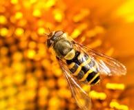 Hoverfly in een zonnebloem Stock Afbeelding
