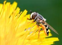 Hoverfly em um dente-de-leão fotografia de stock royalty free