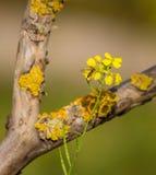 Hoverfly en alhelí amarillo Foto de archivo libre de regalías
