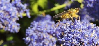 Hoverfly en Ceanothus fotografía de archivo