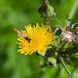Hoverfly en cierre amarillo de la flor para arriba Fotografía de archivo