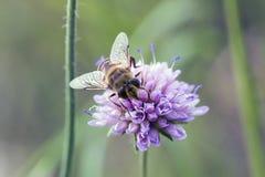Hoverfly en el arvensis rosado de Knautia de la flor Fotografía de archivo