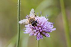 Hoverfly en el arvensis rosado de Knautia de la flor Imagen de archivo libre de regalías