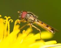 Hoverfly en el diente de león Foto de archivo