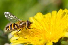 Hoverfly en el diente de león Foto de archivo libre de regalías