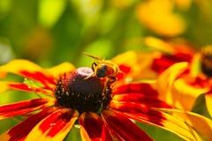 Hoverfly en el girasol Fotos de archivo libres de regalías