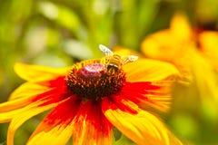 Hoverfly en el girasol Foto de archivo libre de regalías