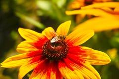 Hoverfly en el girasol Imagenes de archivo
