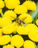 Hoverfly en el tansy común floreciente, macro, foco selectivo Imagen de archivo libre de regalías
