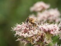 Hoverfly en la cabeza de flor Fotografía de archivo