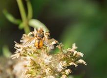 Hoverfly en la cabeza de flor Imágenes de archivo libres de regalías