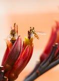 Hoverfly en la flor Foto de archivo