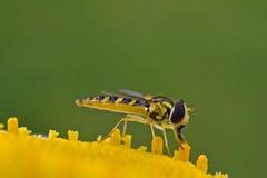 Hoverfly en la flor amarilla Imagen de archivo libre de regalías