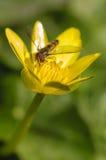 Hoverfly en la flor amarilla Foto de archivo libre de regalías