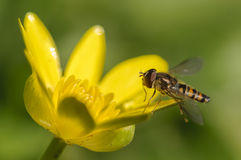 Hoverfly en la flor amarilla Fotografía de archivo libre de regalías