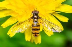 Hoverfly en la flor amarilla del diente de león Foto de archivo