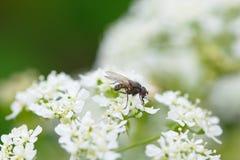 Hoverfly en la flor blanca Imágenes de archivo libres de regalías