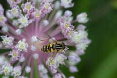 Hoverfly en la flor de la cebolla Imagen de archivo libre de regalías