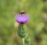 Hoverfly en la flor del cardo Fotos de archivo