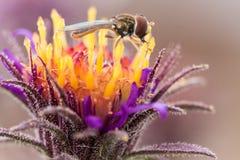 Hoverfly en la flor púrpura Imagenes de archivo