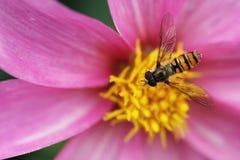Hoverfly en la flor rosada Fotos de archivo libres de regalías