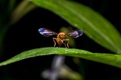 Hoverfly en la hoja verde Fotos de archivo