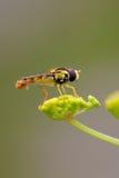 Hoverfly en la pastinaca salvaje Imagenes de archivo