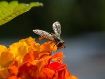 Hoverfly en la pequeña flor anaranjada Fotografía de archivo libre de regalías