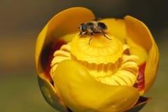 Hoverfly en lirio de charca amarilla Fotos de archivo libres de regalías