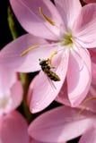 Hoverfly en lirio del cafre fotografía de archivo libre de regalías