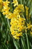 Hoverfly en Narcissen Royalty-vrije Stock Afbeeldingen