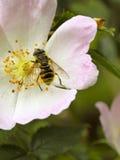 Hoverfly en perro salvaje se levantó Imagenes de archivo