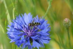 Hoverfly en un aciano azul Fotos de archivo