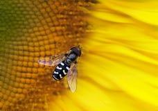 Hoverfly en un girasol Foto de archivo libre de regalías