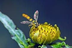 Hoverfly en una flor Foto de archivo libre de regalías