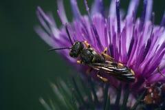 Hoverfly en una flor de un cardo Fotos de archivo libres de regalías