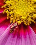 Hoverfly en una flor que consigue un poco de néctar Fotografía de archivo libre de regalías