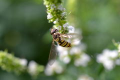 Hoverfly. Enlarged hover fly on mint flowers. Black and yellow stripes, transparent wings Stock Photos